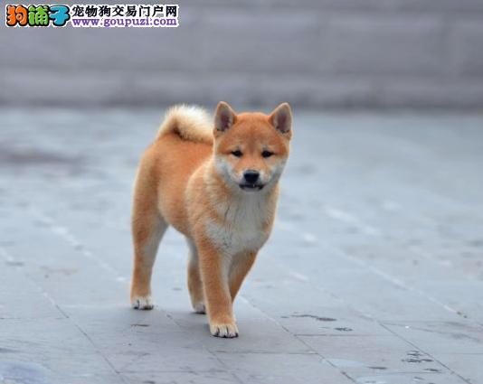 高品质纯种柴犬幼犬出售 自家犬舍繁育