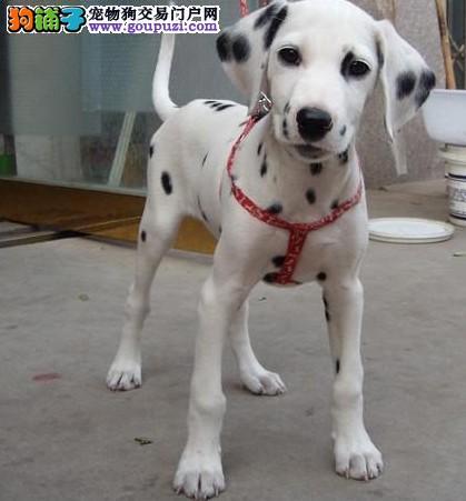 赛级斑点犬 大麦町犬品质保证 打完疫苗有证书