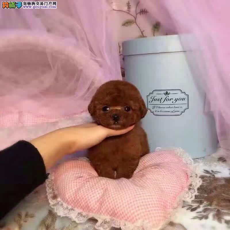 出售自家繁育纯种泰迪幼犬疫苗齐全 有血统证书