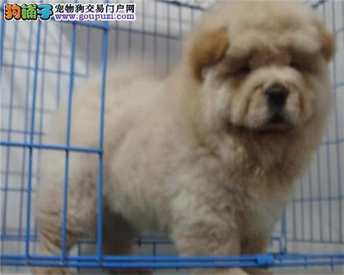 深圳本地纯种大头肉嘴松狮犬 肥嘟嘟3个月,自取1000