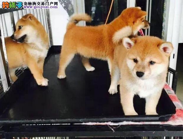 家里养的纯种秋田一窝可以来家里看狗父母 自取1千元