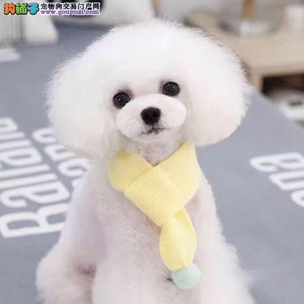 犬舍出售精品泰迪熊 百分百健康纯种