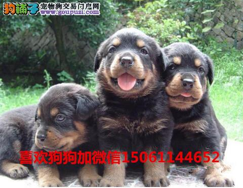 买纯种双血统罗威纳幼犬来我们专业基地包健康签协议