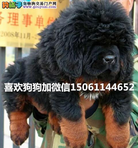 大型獒园出售双血统高品质藏獒幼犬包健康假一赔十