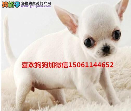 大型专业培育吉娃娃幼犬多只包健康育苗驱虫齐全包纯种
