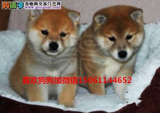 大型基地出售双血统高品质日本柴犬包健康假一赔十