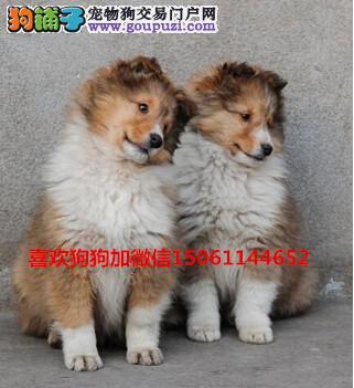 买纯种双血统苏格兰幼犬来我们专业基地包健康签协议