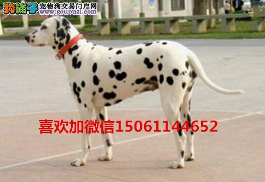 纯种斑点幼犬多少钱来我们专业养殖基地包健康包纯种