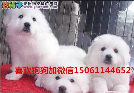 买纯种双血统白熊幼犬来我们专业养殖基地包健康包纯种