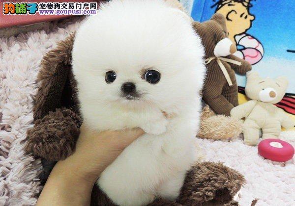 天津正规犬舍繁殖、长不大球型博美 自取1千元