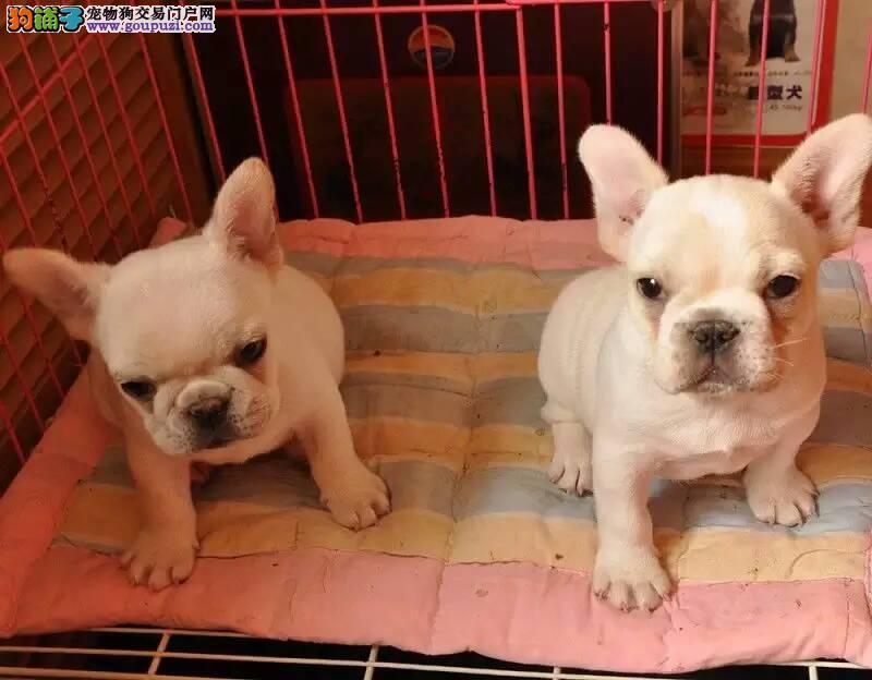 天津本地纯种好品相法牛本着一颗爱狗,爱动物的心