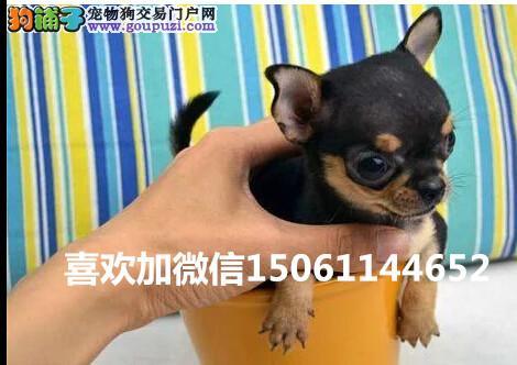 纯种的茶杯幼犬多少钱一只来我们专业养殖基地包健康