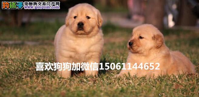 大型专业培育金毛幼犬多只包健康育苗驱虫齐全包纯种