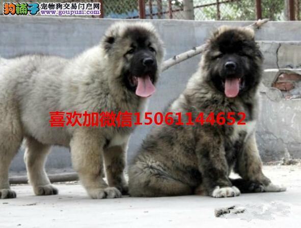 哪里有卖纯种的高加索幼犬来我们专业养殖基地包健康