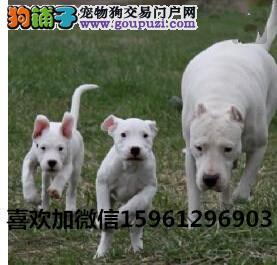 养殖繁育基地出售杜高犬幼犬卡斯罗等各种猛犬