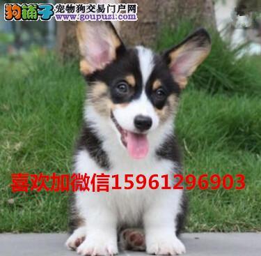 养殖基地出售精品短腿可爱柯基幼犬 双色三色都有健康
