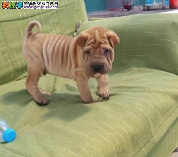 沙皮犬纯种品质保证,防疫做齐,支持视频看狗