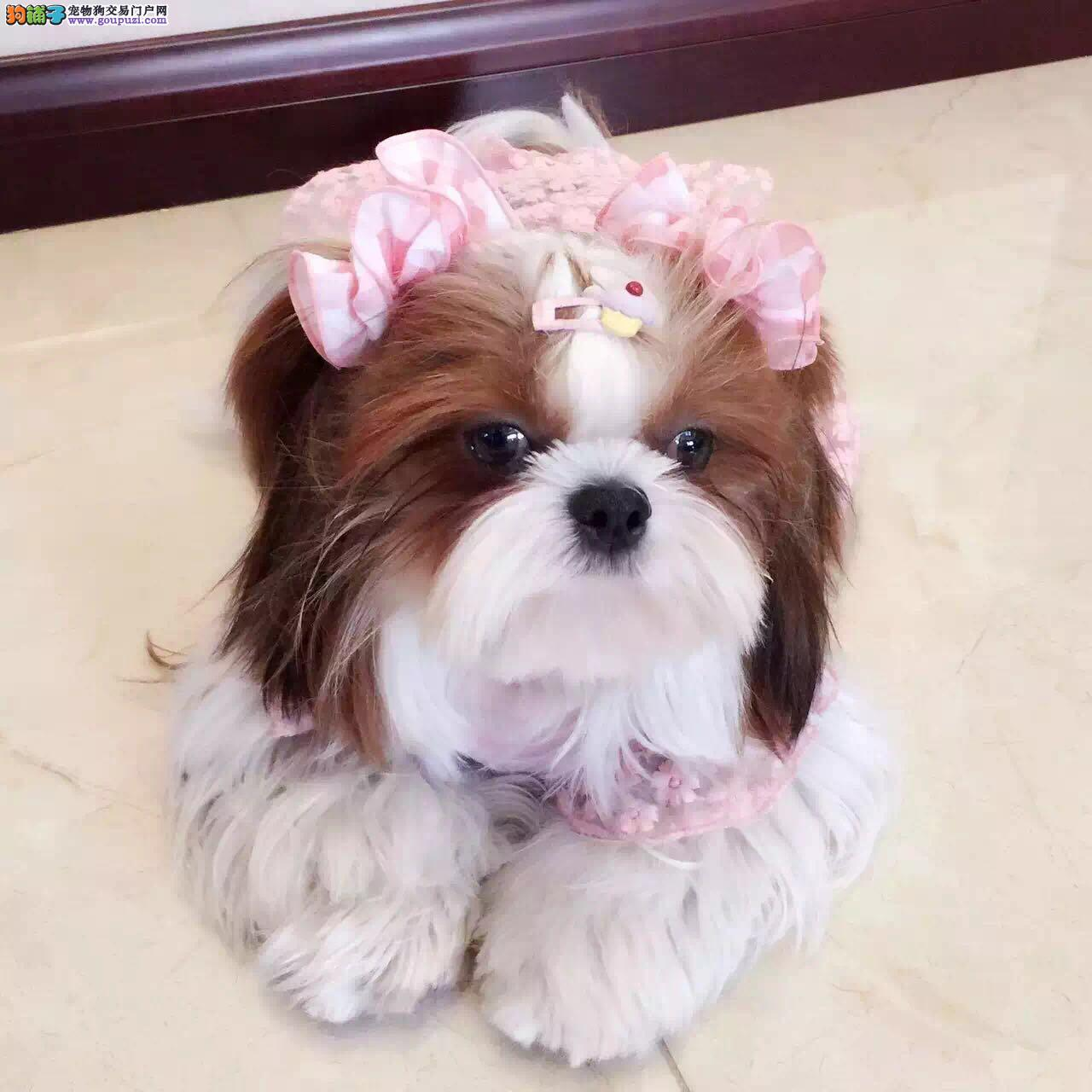 多种颜色的赛级西施犬幼犬寻找主人诚信信誉为本