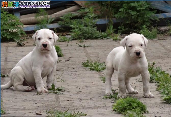 斗犬猛犬杜高犬,百分百纯种健康,签协议质保