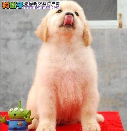 广州哪里有出售纯种金毛幼犬 广州金毛一只多少钱