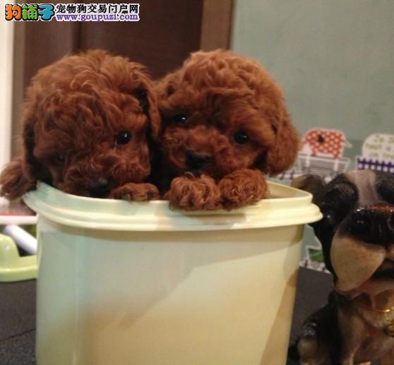 广州哪里有出售纯种贵宾幼犬 广州贵宾犬价格