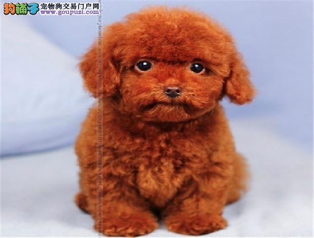 广州纯种泰迪犬一只多少钱 广州哪里有出售泰迪熊幼犬