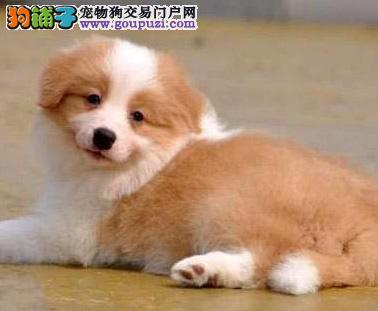 广州纯种边牧幼犬多少钱 广州哪里有卖边境牧羊犬