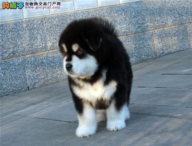 广州阿拉斯加幼犬一只多少钱 广州哪里有卖阿拉斯加