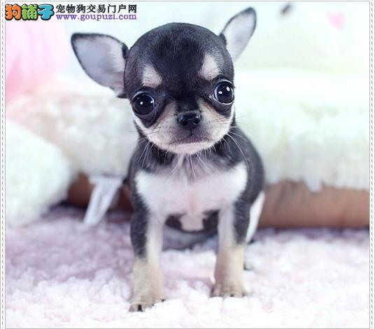 广州哪里有出售纯种吉娃娃 广州吉娃娃幼犬一只多少钱