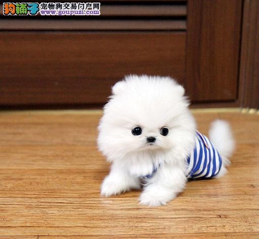 广州纯种博美幼犬一只多少钱 广州哪里有出售博美犬