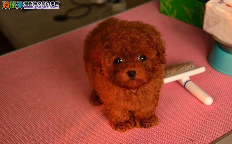 出售韩国引进茶杯体型小泰迪 小贵宾犬 颜色齐全