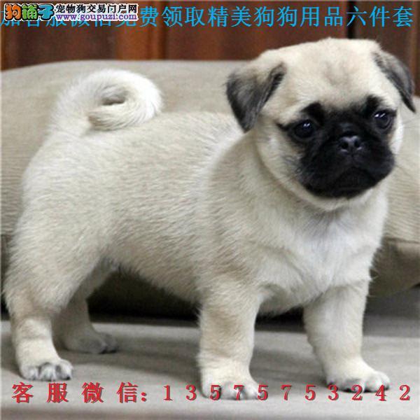 道北犬舍▎出售巴哥幼犬 ▎带出生纸血统证及疫苗本