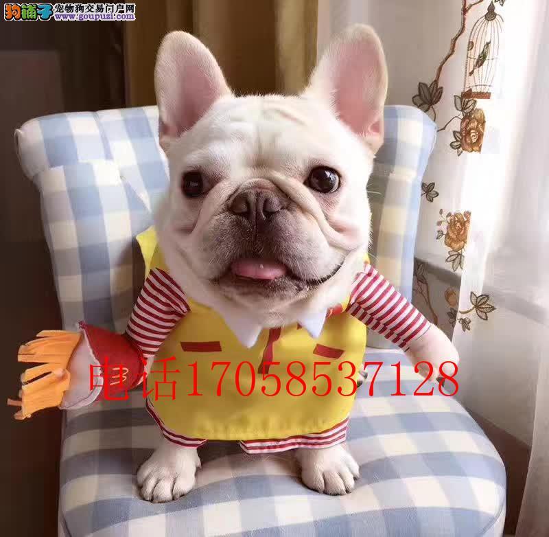 法牛纯种幼犬狗狗 奶油色法国斗牛犬 法斗 白色法