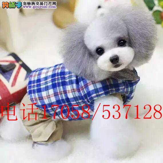 纯种茶杯体 玩具体泰迪熊幼犬 贵宾犬