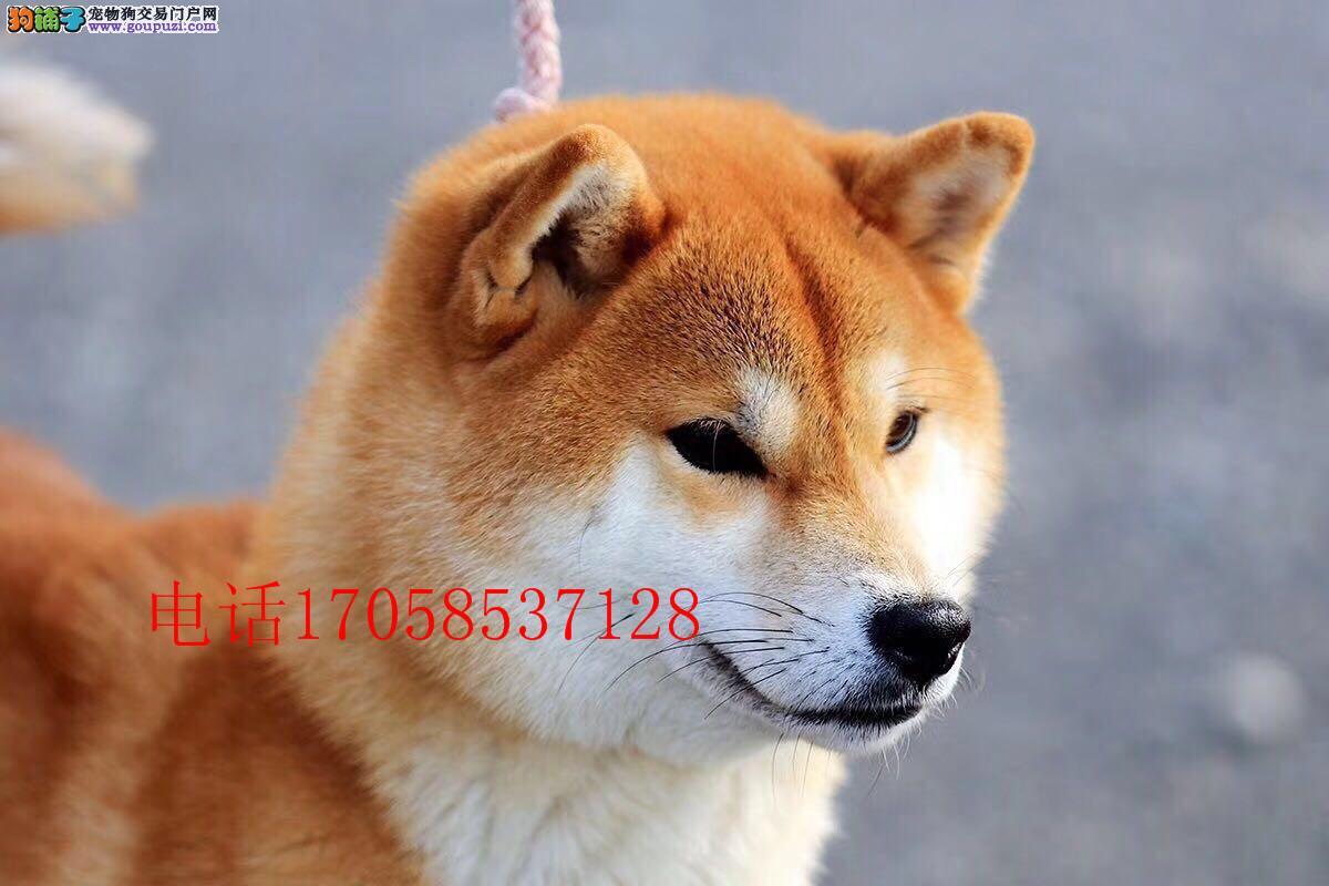 纯种日系柴犬 黑色柴犬 直销高品质柴犬 出售签协议