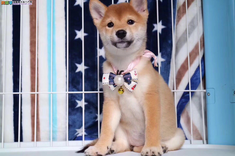 柴犬大脸网红狗 引进日系种犬专业繁殖