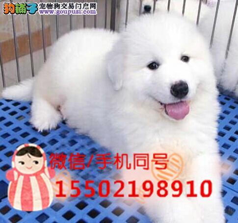 犬舍出售赛级双冠大白熊幼犬自家繁育