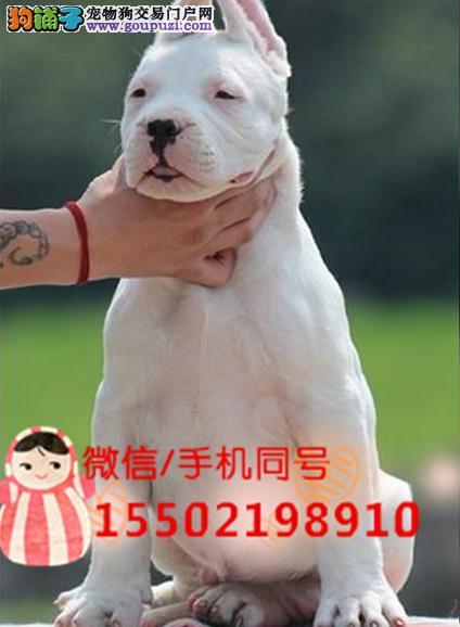 犬舍出售杜高幼犬赛级杜高犬自家繁育