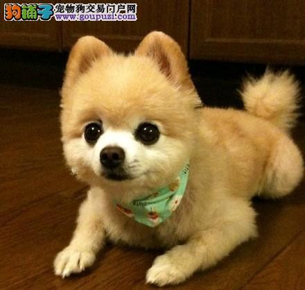 出售哈多利球体博美犬一包养活一签协议
