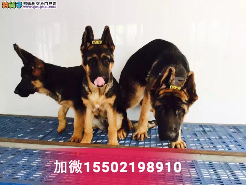 4纯种赛级德牧犬锤系德国牧羊犬幼犬4