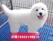 纯种健康大白熊犬幼犬 大型犬 大白熊小狗4