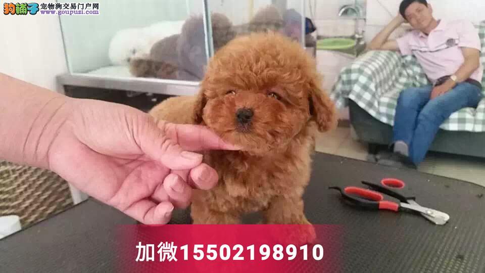 4纯种泰迪贵宾犬迷你茶杯型幼犬4