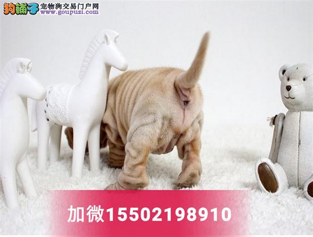 沙皮狗幼犬活体纯种沙皮犬短毛犬沙皮狗5