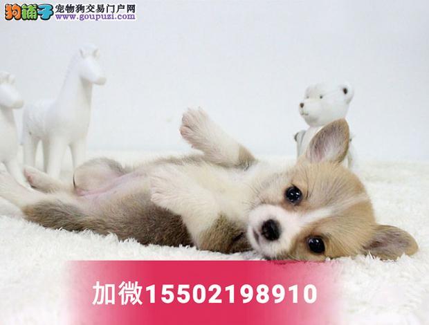 超漂亮鼻线好品相纯种柯基犬幼犬活体5