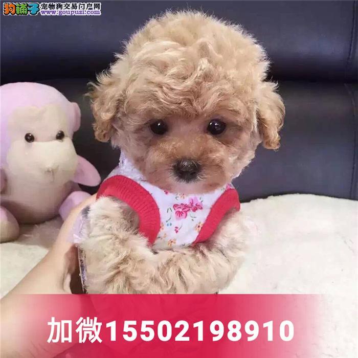 纯种泰迪贵宾犬迷你茶杯型幼犬5