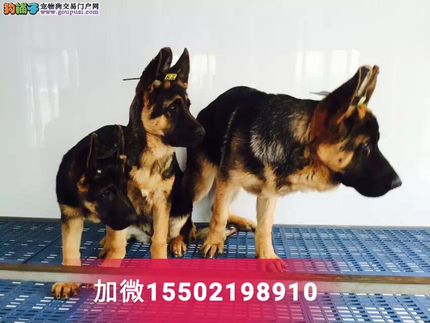 2纯种赛级德牧犬锤系德国牧羊犬幼犬2