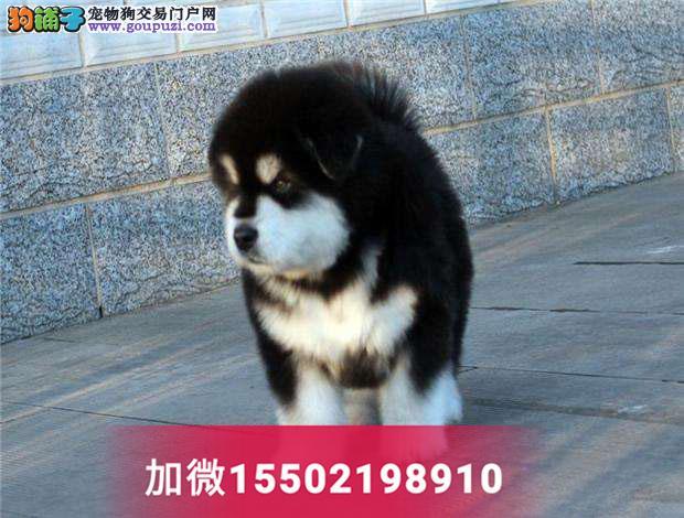 纯种桃脸十子脸阿拉斯加幼犬巨型阿拉雪橇犬幼犬3