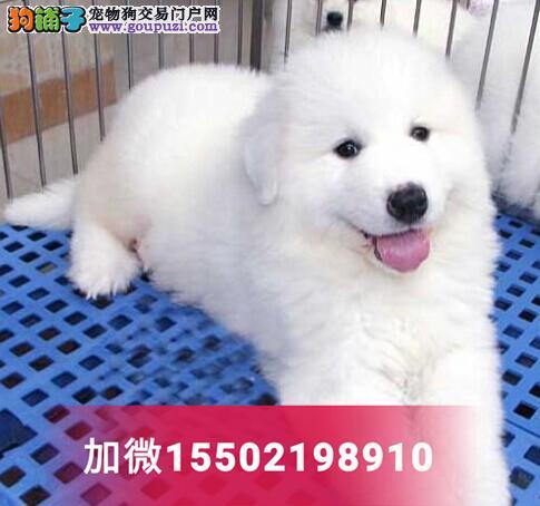 纯种健康大白熊犬幼犬 大型犬 大白熊小狗3