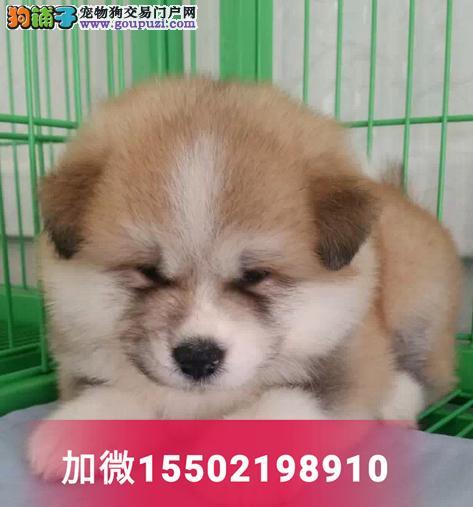 纯种赛级双血统秋田幼犬出售日本柴犬3