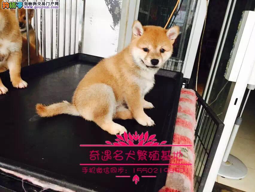 日本进口纯种柴犬专卖多窝小柴犬热销中专业纯正#